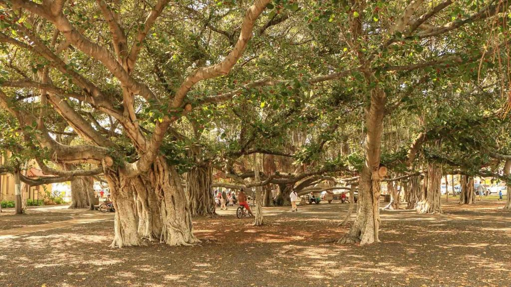 lahaina banyan tree 1920x1078