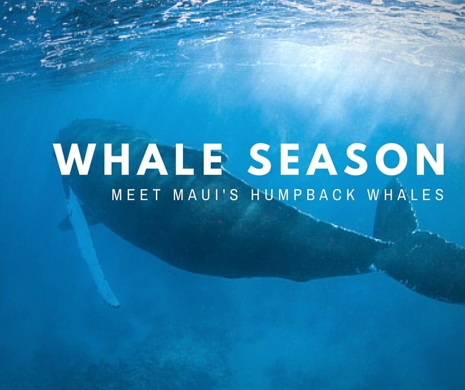 whales in maui & maui whale watching season