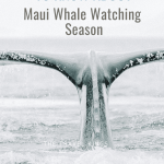Amazing Whales in Maui! Your Guide to Maui Whale Watching Season