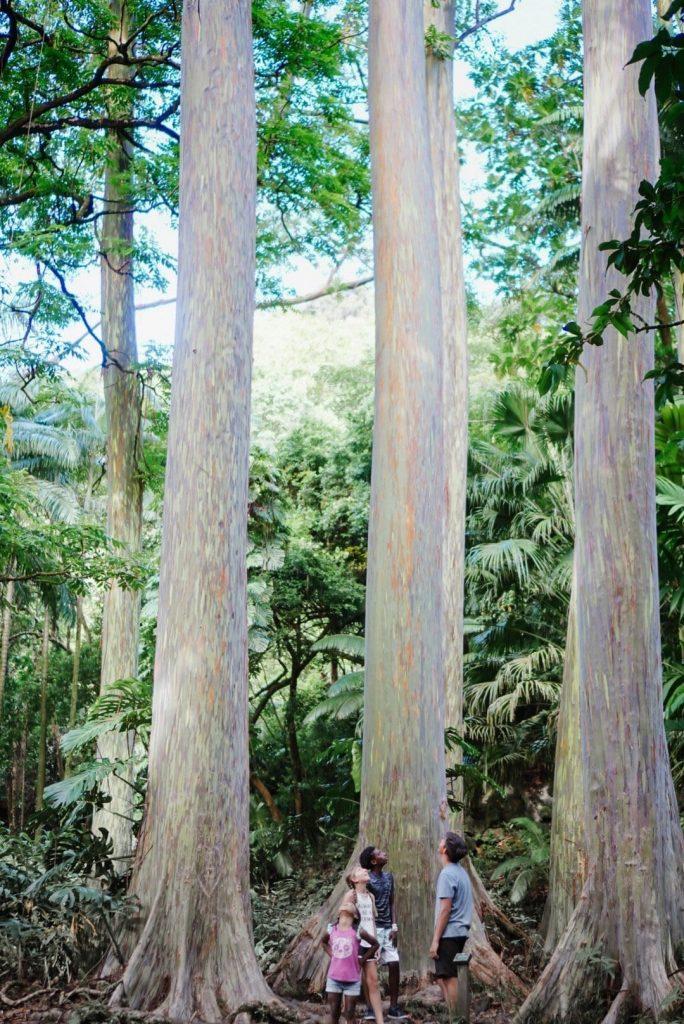 Road to Hana Stops - Rainbow Eucalyptus Trees