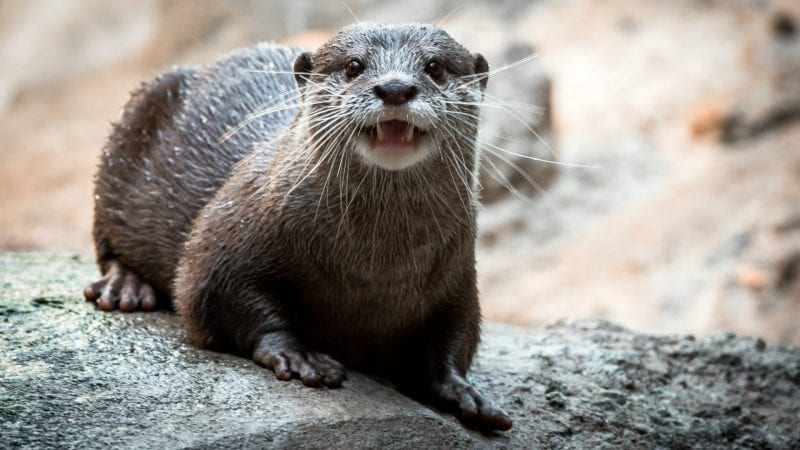 Asian Small clawed Otter 0072 2545 1920x1080 e1566416980341